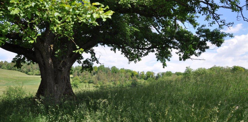 Einzelbaum Magerwiese